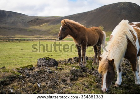 Icelandic pony and horse in the pasture with mountains in the background - stock photo