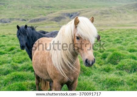 Icelandic pony on pasture. - stock photo