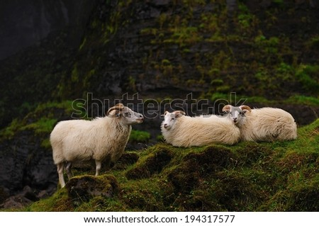Icelandic sheep at Haifoss, Iceland - stock photo
