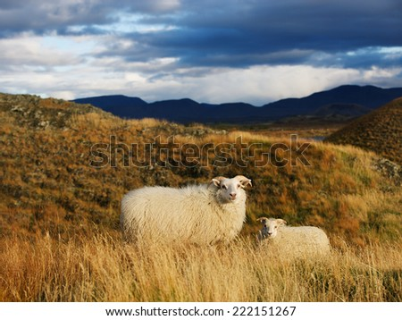 Icelandic sheep with lamb in autumn field at sunset - stock photo