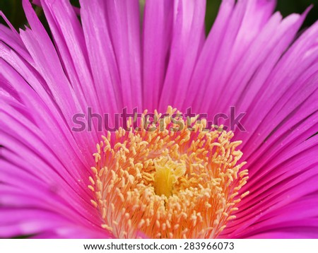 Iceplant - Carpobrotus edulis - stock photo