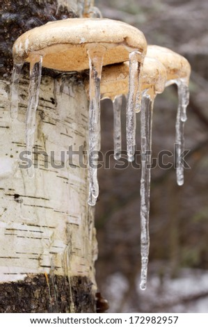 Icicles on mushrooms on a birch tree from an ice storm. - stock photo