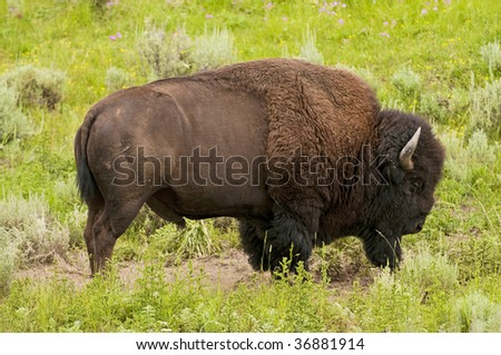 Iconic buffalo in Yellowstone National Park - stock photo