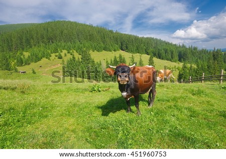Idyllic alpine scenery with grazing cows, blue sky and white clouds. Mountain grassland with grazing cows in summer pasture. Cows on farm. Agricultural composition, Carpathians, Ukraine - stock photo
