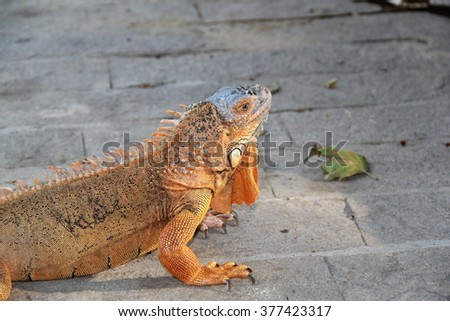 Iguana and other reptiles from Thailand, year 2015 - stock photo