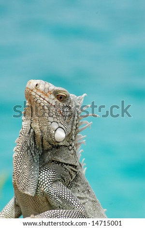 Iguana close-up near ocean - stock photo