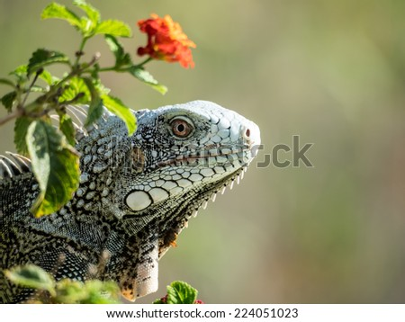 Iguana hiding in the flowers Curacao a Caribbean Island in the Caribbean - stock photo