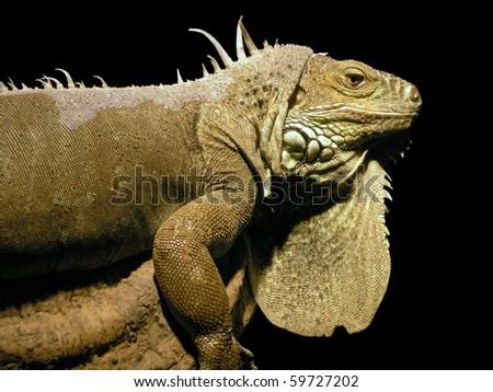 Iguana (Iguanidae) - stock photo