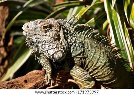 Iguana in Night safari ChiangMai Thailand. - stock photo