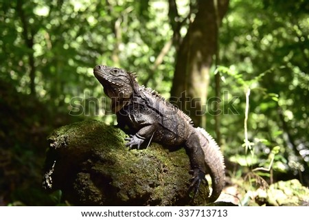 Iguana in the forest. Cuban rock iguana (Cyclura nubila), also known as the Cuban ground iguana.   - stock photo