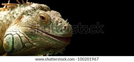 Iguana isolated on black background. - stock photo