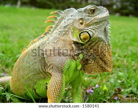 Iguana Lizard - Reptile - stock photo