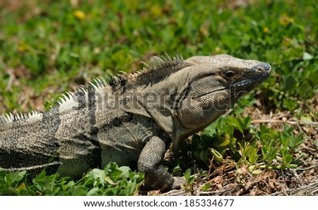 Iguana on a grass - stock photo