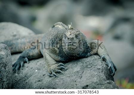 iguana on a rock in san cristobal galapagos islands closeup - stock photo