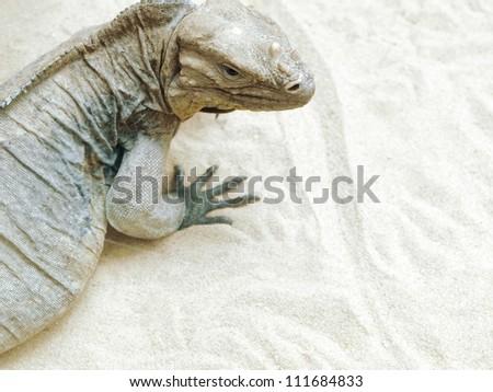 Iguana on sandy surface with copy space - stock photo