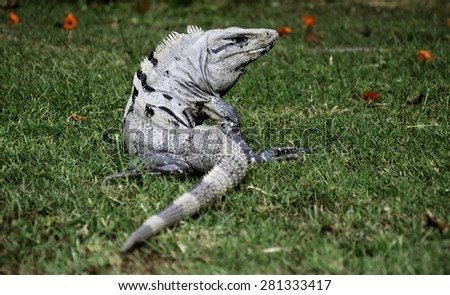 Iguana on the green grass near ruins in Mexico - stock photo