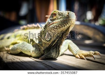 Iguana - Views around the Caribbean Island of Curacao - stock photo