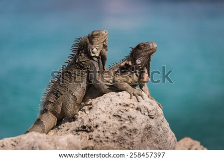 Iguanas against the ocean, Bonaire, Netherlands Antilles - stock photo
