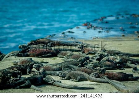 iguanas sunbathing in floreana island galpagos Ecuador - stock photo