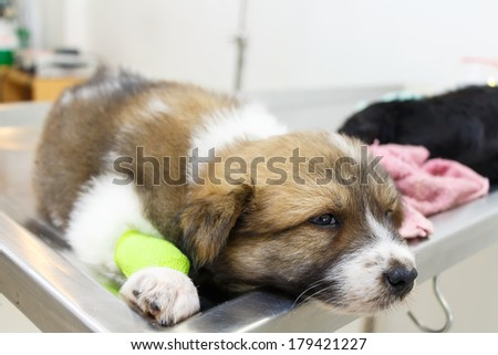 illness puppy(Thai Bangkaew Dog) with catheter at its leg on operating table in veterinary clinic - stock photo