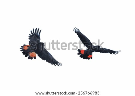 Illustration Banks' Black Cockatoo (Red-Tailed Cockatoo) in flight - stock photo