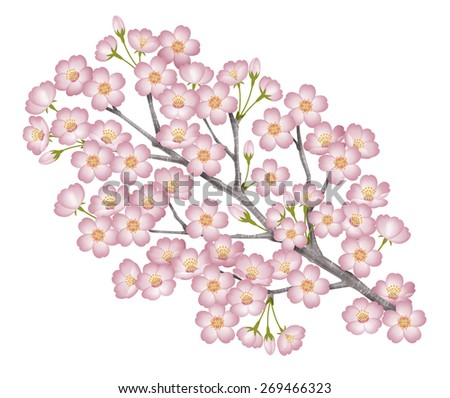 "Illustration of a branch of a cherry tree. / Prunus yedoensis. White background. Japanese is ""Sakura"". - stock photo"