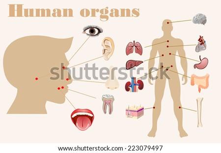 illustration of diagram of human anatomy - stock photo