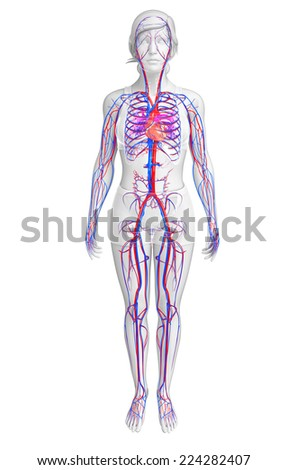 Illustration of female circulatory system - stock photo