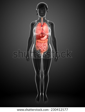 Illustration of female digestive system  - stock photo