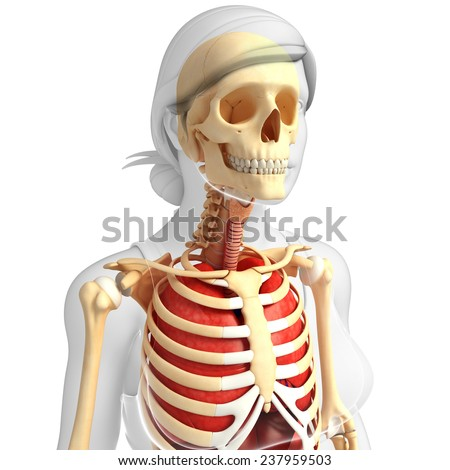 Illustration of female lungs and skeleton artwork - stock photo