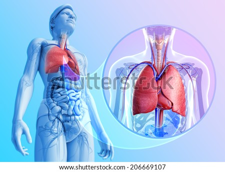 Illustration of human lungs anatomy - stock photo