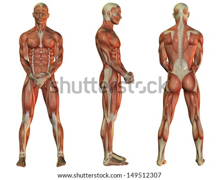 Illustration of male muscle structure when standing - stock photo
