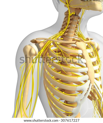 Illustration of male ribcage with nervous system artwork - stock photo
