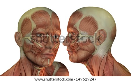 Illustration of man head muscle structure - stock photo