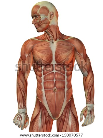 Illustration of man muscle structure front view - stock photo