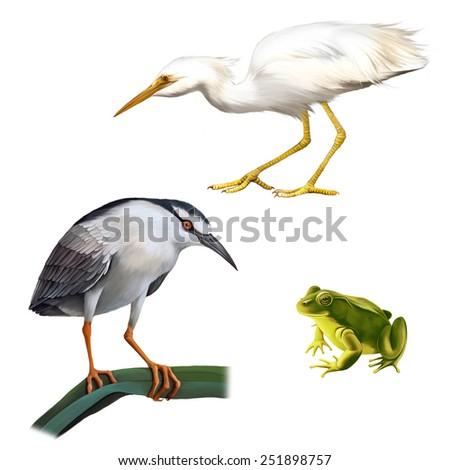 Illustration of Night Heron bird, Great White Egret (Ardea alba), and green frog Isolated on white background - stock photo