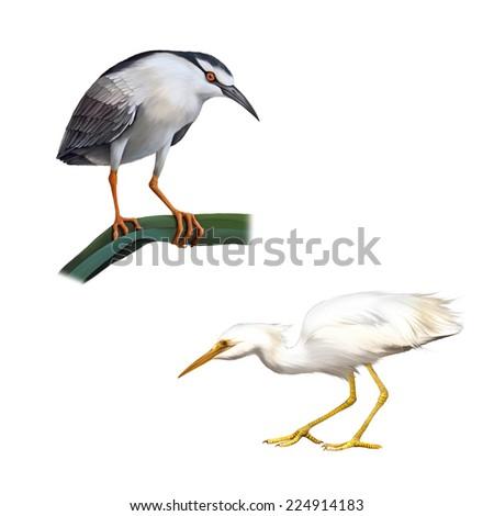 Illustration of Night Heron bird, Great White Egret (Ardea alba), Isolated on white background - stock photo
