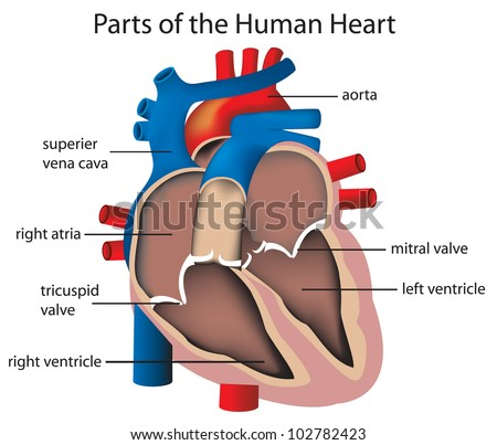 Illustration of parts of the heart - EPS VECTOR format also available in my portfolio. - stock photo