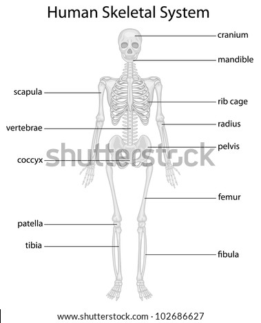Illustration of skeletal system with labels - EPS VECTOR format also available in my portfolio. - stock photo