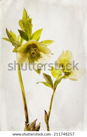 Illustration of watercolor hellebore on a vintage background  - stock photo