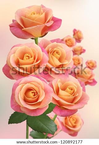 image a lot of pink roses closeup - stock photo
