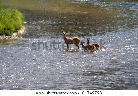 image from outdoor and nature texture background series (deer crossing a river) - stock photo