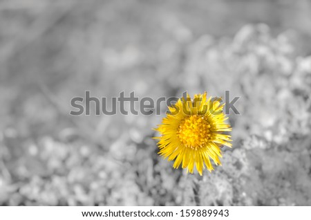 Image of a beautiful yellow Coltsfoot wildflower - stock photo