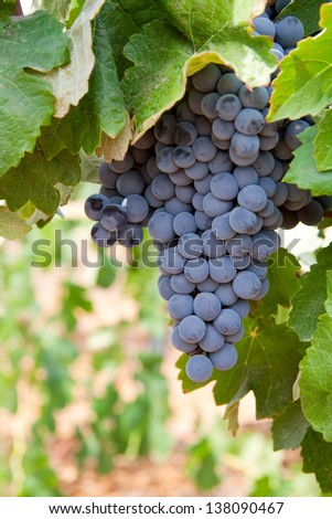 Image of a bunch of wine grapes in a vineyard. - stock photo