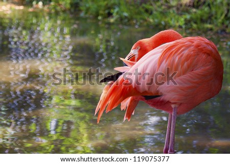 Image of a flamingo preening his feathers. The bird is standing on two legs in a shimmering pond of water with its beak buried in its feathers. - stock photo