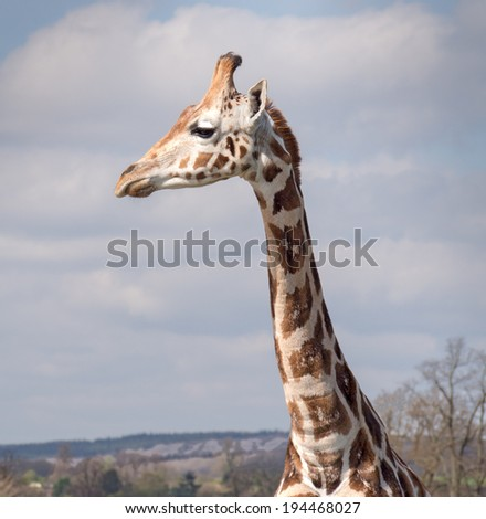 Image of a Giraffe showing its long neck - stock photo