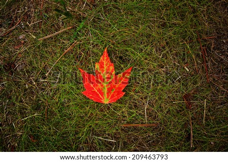 Image of a single bright red maple leaf on top of green grass. - stock photo
