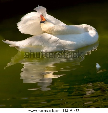 image of a white swan on a pond - stock photo