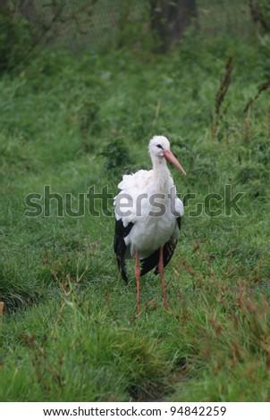 Image of a Wild White Stork - Ciconia ciconia - stock photo