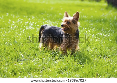 Image of a yorkshire dog - stock photo